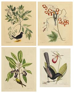 after Mark Catesby, Collection of 4 Exotic Bird Studies at Morgan O'Driscoll Art Auctions